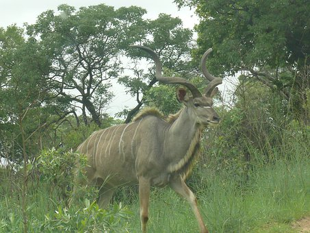 Kudu, Africa, Animal, Mammal, Herbivore, Male, Horns