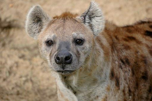 Hyena, Wildlife, Africa, Mammal, Nature, Animal, Wild