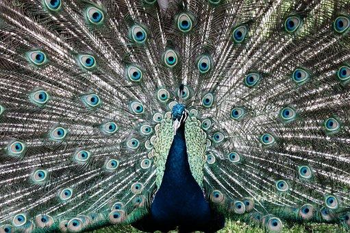 Peacock, Animal, Before Gel, Iridescent, Peacock Head
