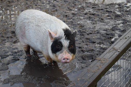 Pig, Hogpen, Jipdwaeji