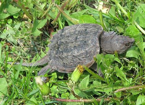 Common Snapping Turtle, Chelydra Serpentina, Juvenile