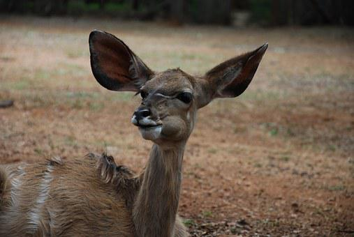 Kudu, Young, Animal, Wildlife, South Africa, Chewing