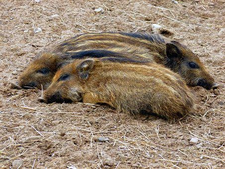 Boar, Little Pig, Three, Nature, Wild Boar, Family