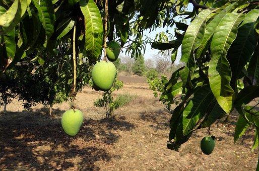 Mango, Tree, Fruit, Alphonso, Variety, Tropical