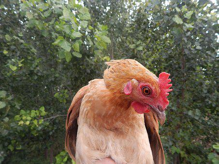 Chicken, In Rural Areas, Natural