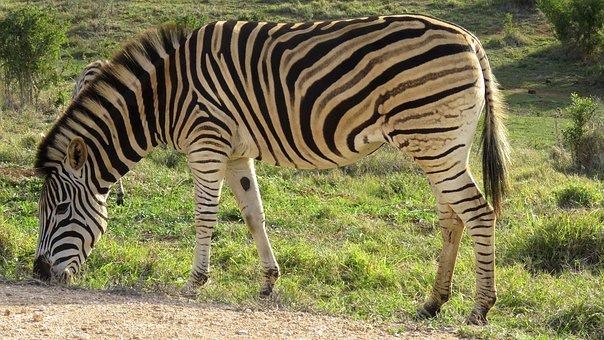 Zebra, Addo Elephant Park, South Africa, Animal, Park