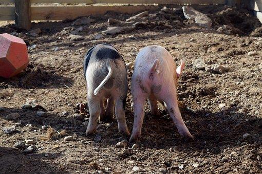 Piggies, Pig Butts, Farm, Humorous, Backside, Butt, Pig