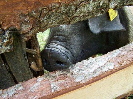 Piggy Nose, Black Pig, Pig, Animal