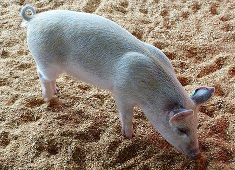 Pig, Animal, Cute, Piglet, Livestock, Young, Pink