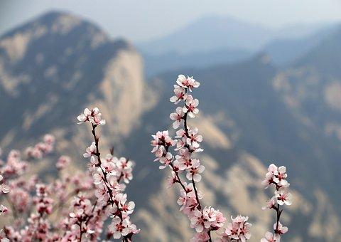 Xi'an, Plum Blossom, Mountain, Pinus Armandii