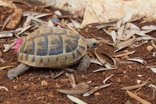 Turtle, Dirt, Reptile, Animal, Nature, Wildlife, Shell
