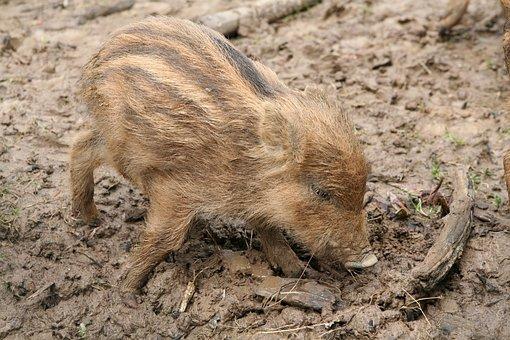 Launchy, Boar, Wild Boar, Pig, Piglet, Rooting, Wild