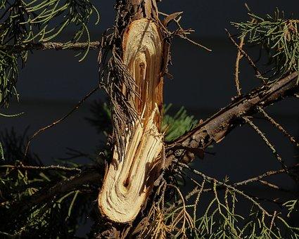 Broken Limb, Snapped Branch, Storm Damage, Tree, Shrub