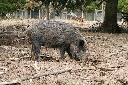 Boar, Sow, Animal, Deer Park, Wild Animal, Pig, Bache