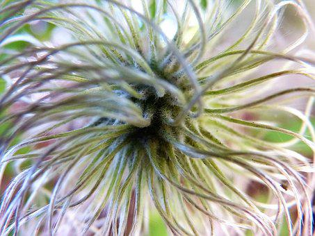 Alpine Clematis, Clematis, To Bloom, Like Feathers