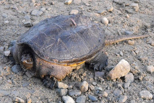 Turtle, Common Snapping Turtle, Ontario, Nature