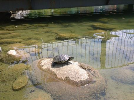 Turtle, Resting, Snapping, Reptile, Wildlife, Shell