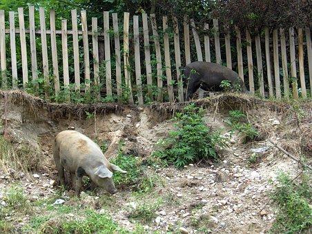 Pigs, Village, Fence, Farmland, Romania
