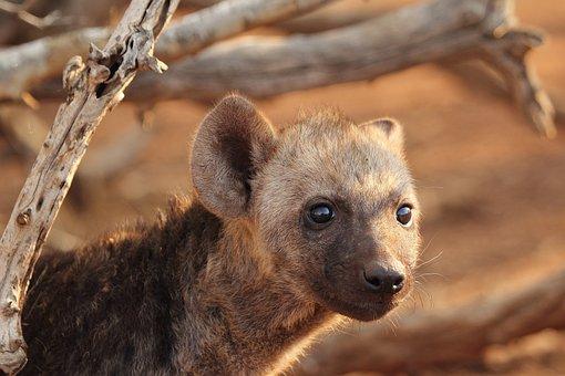 Hyena Puppy, Hyena, Predator, Wildlife