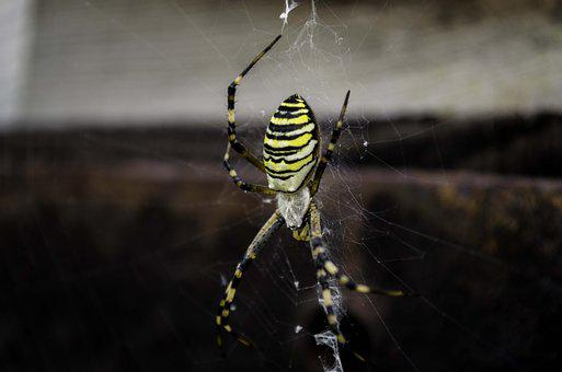 Spider, Spider Web, Black, Yellow, Nature, Insects