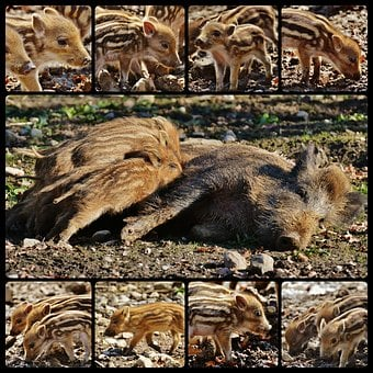 Wild Pigs, Wildpark Poing, Collage, Young Animals