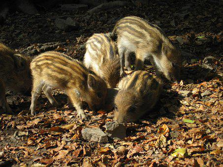 Little Pig, Wild Boars, Young Animals, Nature, Forest