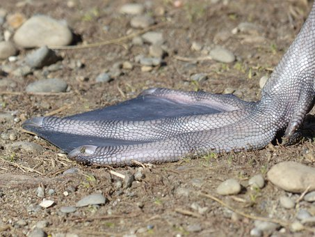 Mute Swan, Swan, Bird, Animal, Cygnus Olor, Anatidae