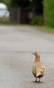 Bird, Pheasant, Beautiful, Nature, Female, Hen