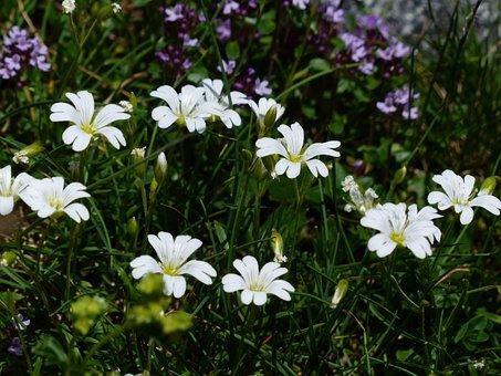 Alpine Hornwort, Flower, Blossom, Bloom, White