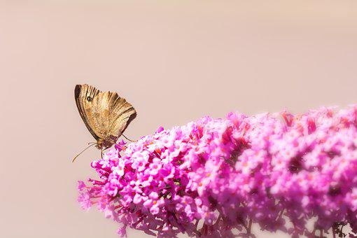 Lilac, Summer Lilac, Pink, Blossom, Bloom, Butterfly