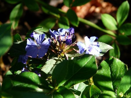 Auriculata, Blossom, Bloom, Blue, Plant