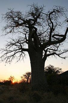 Botswana, Baobab, Sunset