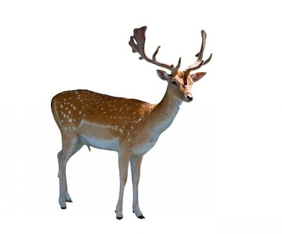 Deer, Fallow, Fallow Deer, Male, Stag, Buck, Hart