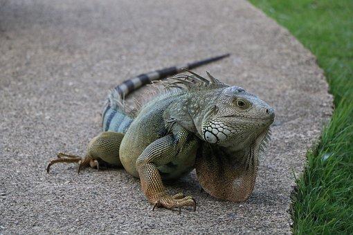 Reptile, Caribbean, Scaled Hulk, Lizard