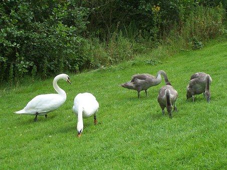 Mute Swan Family, Cygnus Olor, Swans, Waterfowl, Cob