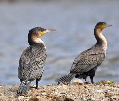 Cormorant, White-breasted, White-breasted Cormorant