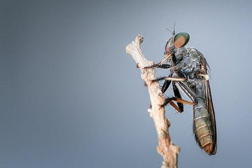 Robberfly, Insect, Macro, Animal, Detailed