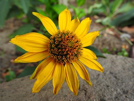 Perennial Sunflower, Yellow Flower, Flower, Blossom
