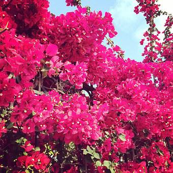 Pink, Fuchsia, Bougainvillea, Flowers, Bloom, Blossom