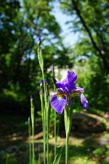 Iris, See Flowers, I, Forest, Flowers, Nature, Plants