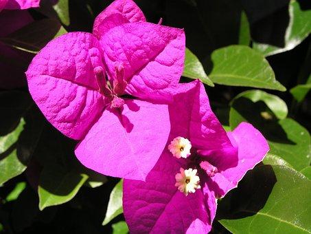 Bougainvillea, Purple, Flower, Garden, Flora, Fauna