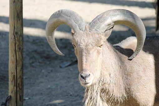 Goat, Horn, Antler, Ibex