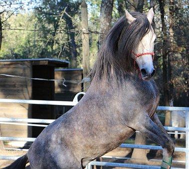 Horse, Arabic, Prancing, Horse Jumping, Horse Show