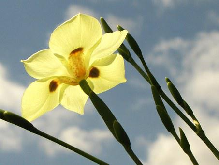 Yellow Flower, Iris, Lily, African Iris, Fortnight Lily