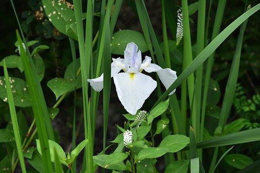 Irises, White Flowers, Iris Type