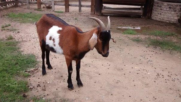 Goat, Wild Animal, Kid, Mount, Animals, Nature
