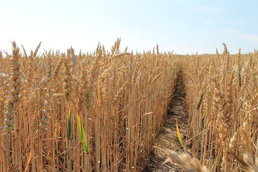 Corn, Harvest, Grains, Field, Kłos, Fields