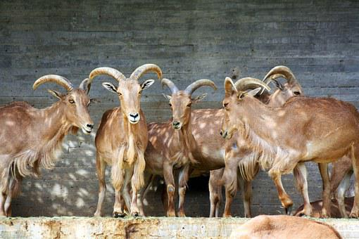 Ibex, Goat, Zoo, Animal, Mammal