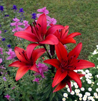 Flowers, Lilies, Iris, Nature, Meadow, Summer, Red