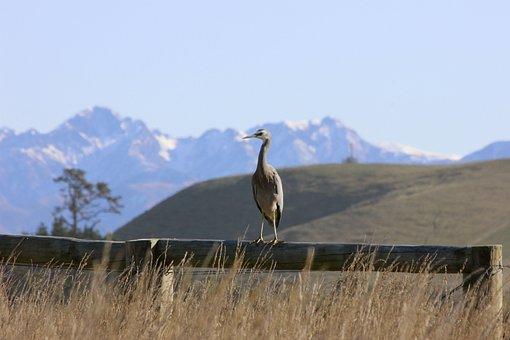 White-faced Heron, Bird, Mountains, Kaikoura